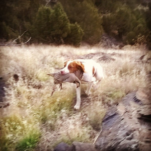 Brittany with Chukar